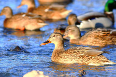 Ducks swimming in  water. Ducks swimming in cold water Stock Image