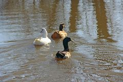 Ducks swimming on water during flooding. Three ducks white brown and black swimming on water. Lake birds Royalty Free Stock Photography