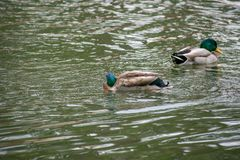 Ducks swimming in the water at a park. Close to are house Royalty Free Stock Images