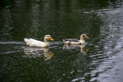 Ducks swimming in the water at a park. Close to are house Stock Photos