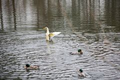 Ducks swimming in the water at a park. Close to are house Stock Image