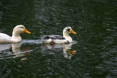 Ducks swimming in the water at a park Stock Image