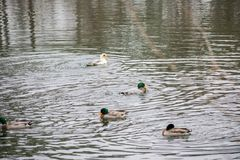 Ducks swimming in the water at a park Royalty Free Stock Photography