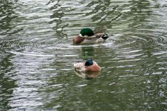 Ducks swimming in the water at a park. Close to are house Royalty Free Stock Photography
