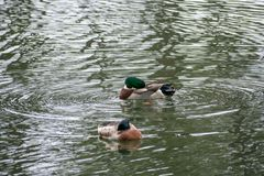 Ducks swimming in the water at a park. Close to are house Stock Photography
