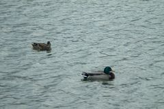 Ducks swimming in the Water. Ducks swimming in the rippling Water of a lake in Chicago royalty free stock images