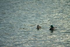Ducks swimming in the Water. Ducks swimming in the rippling Water of a lake in Chicago stock images