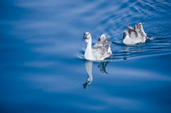 Ducks swimming in water Royalty Free Stock Photos