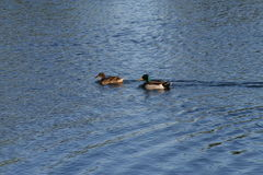 Ducks Swimming On The Water. Two ducks swimming on the pond, on a sunny day royalty free stock photography