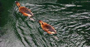 Ducks are swimming in the water. View from above stock footage