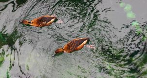 Ducks are swimming in the water. View from above stock video