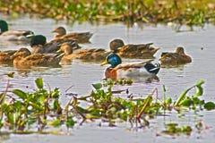 Ducks swimmng Стоковое Изображение