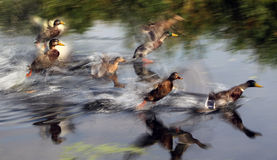 Ducks take flight Royalty Free Stock Photography