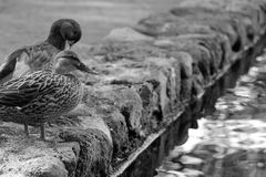 Ducks royalty free stock photography
