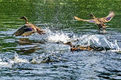 Ducks takeoff. Mallard - a bird from the family of ducks detachment of waterfowl. The most famous and common wild duck. Closeup stock images