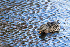 A ducks takes a quick drink Stock Photo