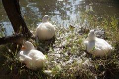 Ducks taking a siesta stock photo