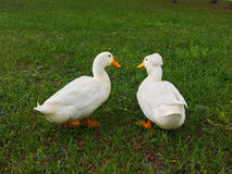 Ducks are talking Royalty Free Stock Photo