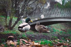 Ducks talking on the ground. Ducks on the ground in the park Stock Image