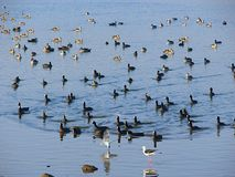 Ducks and Teals at Randarda Lake, Rajkot, Gujarat Stock Photos