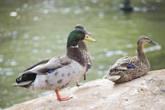 Ducks. Stock Images