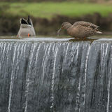Ducks at the top of a waterfall Royalty Free Stock Photography