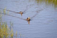 Ducks travel as a pair in the waterway of Egans Creek Greenway on Amelia Island, Florida. The ducks of Amelia Island hunt for fish along the banks of the marsh royalty free stock photography