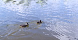 Ducks in the pond at summer. wildlife, nature. Royalty Free Stock Images