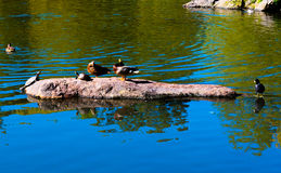 Ducks and Turtles in Central Park. Ducks and Turtles appear to compete for space on a rock in a pond in Central Park, New York Stock Images