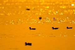 Ducks with twilight Stock Images