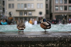 Ducks. Two ducks and a fountain. Cologne, Germany Royalty Free Stock Photo