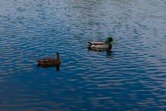 Ducks. Two Mallard ducks swimming peacefully on a blue lake Royalty Free Stock Photo
