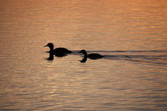Ducks. Two ducks on a pond at sunset Stock Photography