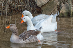 Ducks. Two white and one colored duck at theirs habbitat Royalty Free Stock Image