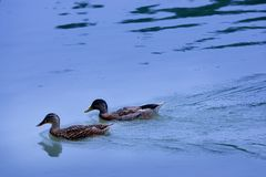 Ducks - twosome Stock Photo