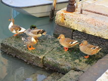 Ducks in Venice Stock Photos