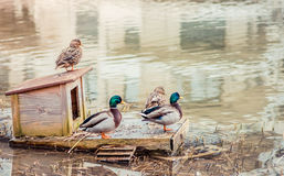 Ducks on the viewing platform. Pair of ducks swimming in the pond Royalty Free Stock Image