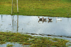 Ducks in the village. On the football field in the fall in a puddle after the rain Stock Images