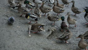 Ducks walk on the beach.  Close-up. Ducks walk on the beach. Close-up stock footage