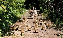 Ducks for a walk with clutch of ducklings. Background Royalty Free Stock Photos