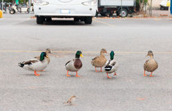 Ducks walk freely in the city in  car park Royalty Free Stock Photos