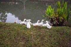 Ducks walk Stock Image