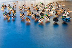 Ducks walk on ice. In winter Stock Photography