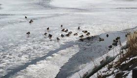 Ducks walk in snowy lake royalty free stock photo