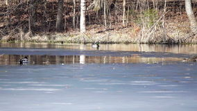 Ducks walk swim on thin layer of ice covered lake on early spring stock footage
