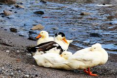 Ducks walking around the lake Royalty Free Stock Photos