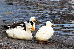Ducks walking around the lake Royalty Free Stock Image