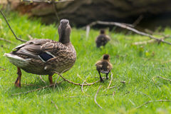Ducks walking away. Mother duck walking away with ducklings over grass. Mallard Anas platyrhynchos with chicks. UK, April Stock Images