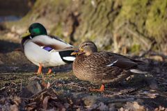 Ducks walking in forest Royalty Free Stock Photos