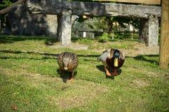 Ducks walking on the grass royalty free stock photos
